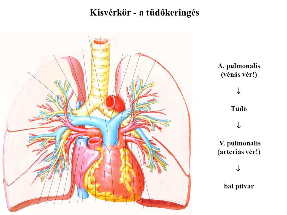 Kisvérkör - a tüdőkeringés A. pulmonalis (vénás vér!)  Tüdö  V. pulmonalis (arteriás vér!)  bal pitvar