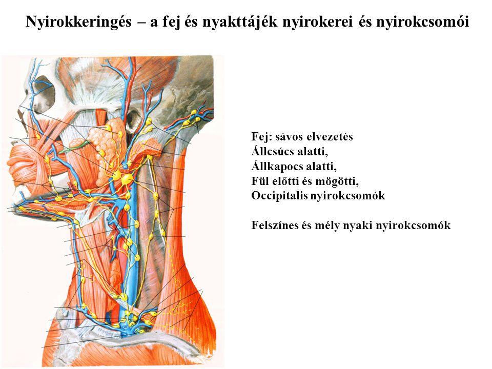 Nyirokkeringés – a fej és nyakttájék nyirokerei és nyirokcsomói Fej: sávos elvezetés Állcsúcs alatti, Állkapocs alatti, Fül előtti és mögötti, Occipit