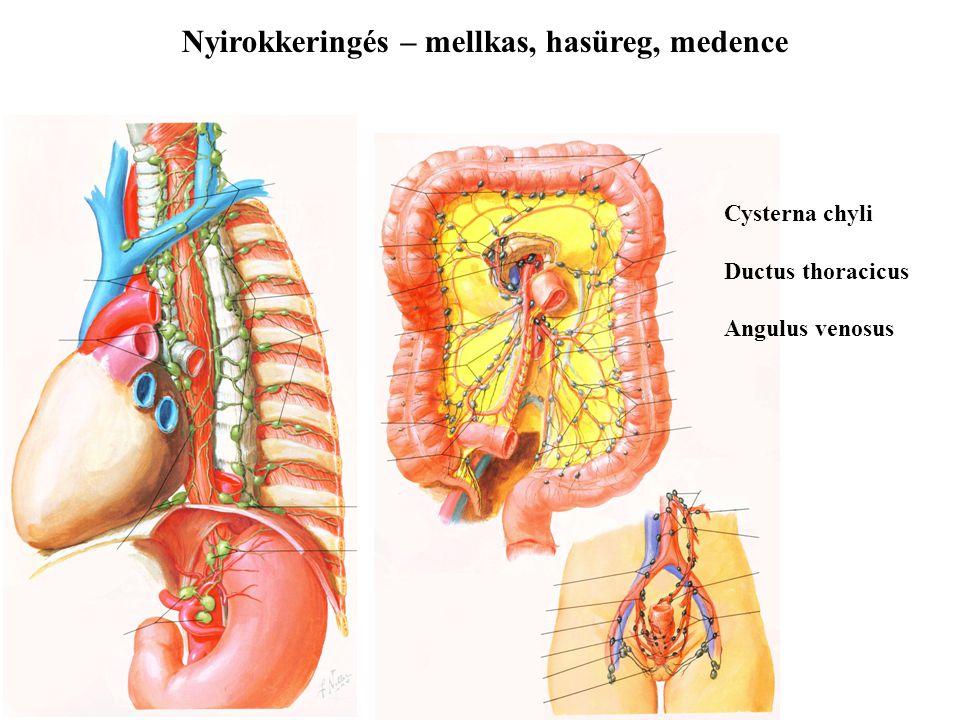 Nyirokkeringés – mellkas, hasüreg, medence Cysterna chyli Ductus thoracicus Angulus venosus