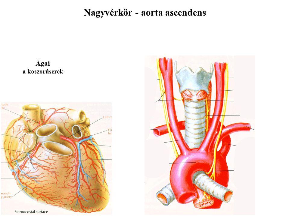 Nagyvérkör - aorta ascendens Ágai a koszorúserek
