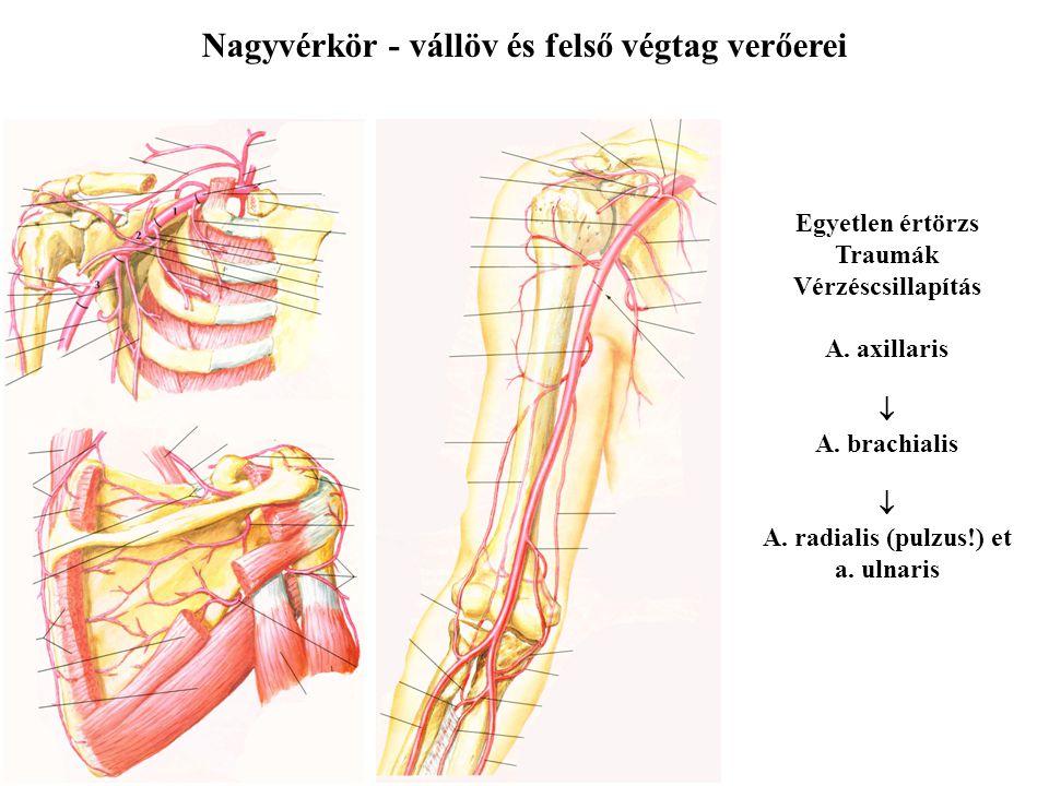 Nagyvérkör - vállöv és felső végtag verőerei Egyetlen értörzs Traumák Vérzéscsillapítás A. axillaris  A. brachialis  A. radialis (pulzus!) et a. uln