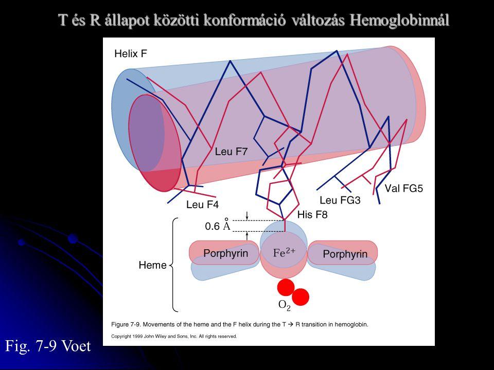 T és R állapot közötti konformáció változás Hemoglobinnál T és R állapot közötti konformáció változás Hemoglobinnál Fig.