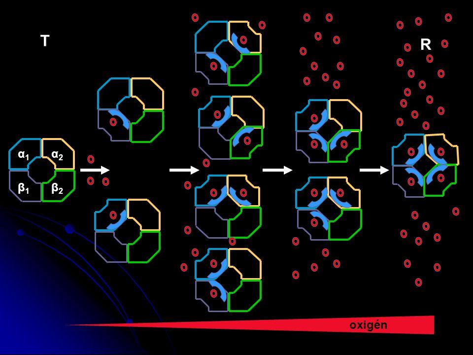 oxigén α1α1 α2α2 β1β1 β2β2 T R