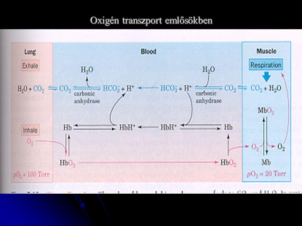 Oxigén transzport emlősökben