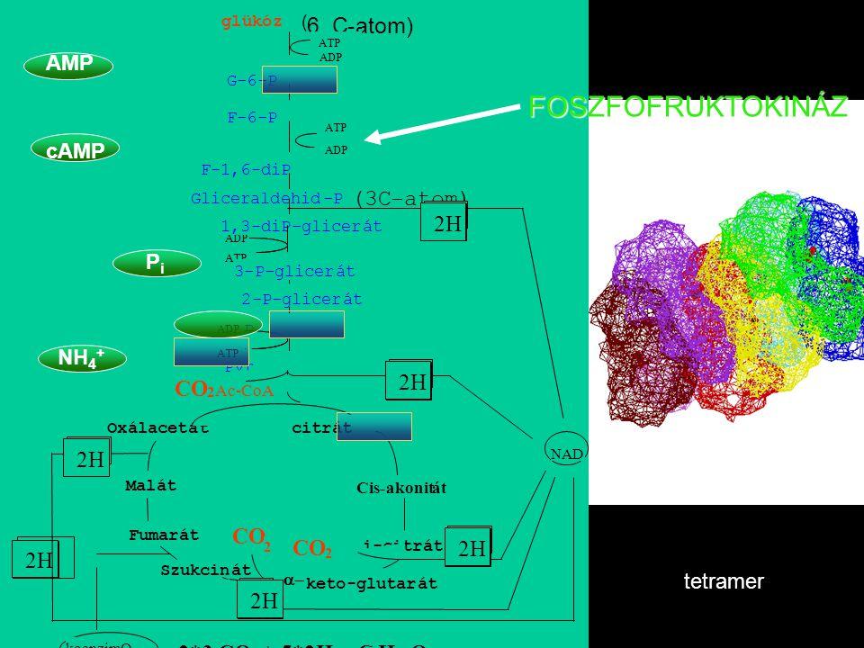 Mg 2+ 2H NAD koenzimQ 2*3 CO 2 + 5*2H = C 6 H 12 O 6 CO 2 2 2 2H AMP cAMP NH 4 + PiPi FOSZFOFRUKTOKINÁZ tetramer
