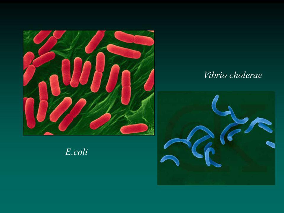 E.coli Vibrio cholerae