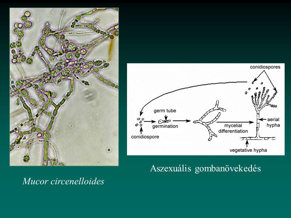 Mucor circenelloides Aszexuális gombanövekedés