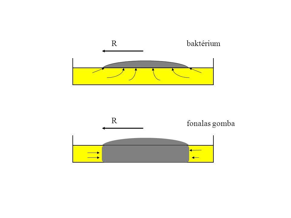 R R baktérium fonalas gomba