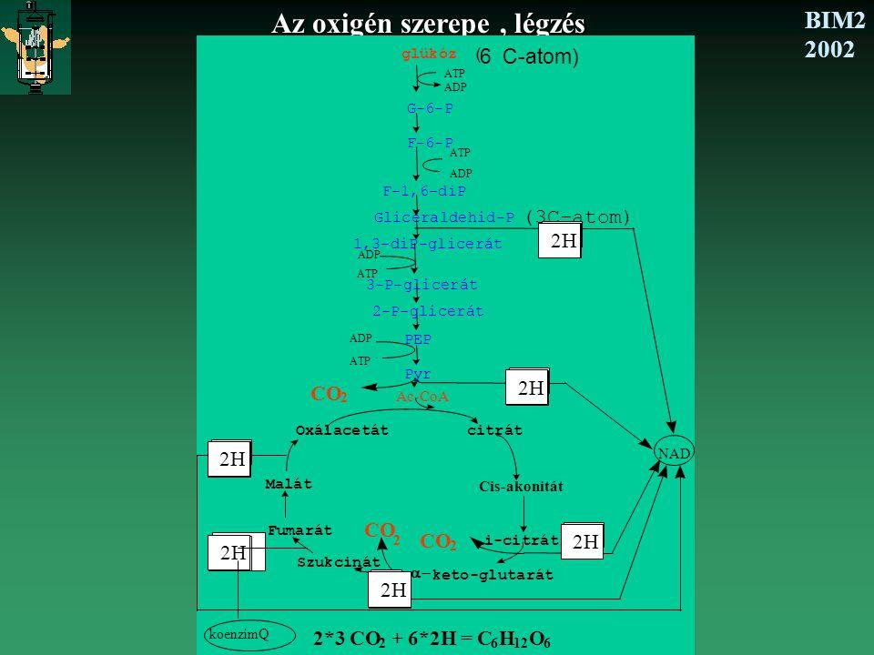 BIM2 2002 Az oxigén szerepe, légzés glükóz ( 6 C-atom) G-6-P F-6-P F-1,6-diP Gliceraldehid-P (3C-atom) PEP Pyr Ac-CoA citrát 2H Oxálacetát Cis-akonitá
