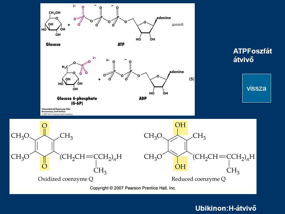 ATPFoszfát átvivő Ubikinon:H-átvivő vissza