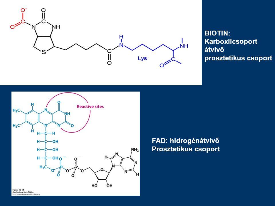 BIOTIN: Karboxilcsoport átvivő prosztetikus csoport FAD: hidrogénátvivő Prosztetikus csoport