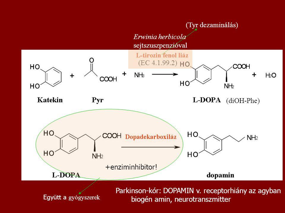 (diOH-Phe) (EC 4.1.99.2) (Tyr dezaminálás) Erwinia herbicola sejtszuszpenzióval Parkinson-kór: DOPAMIN v. receptorhiány az agyban biogén amin, neurotr