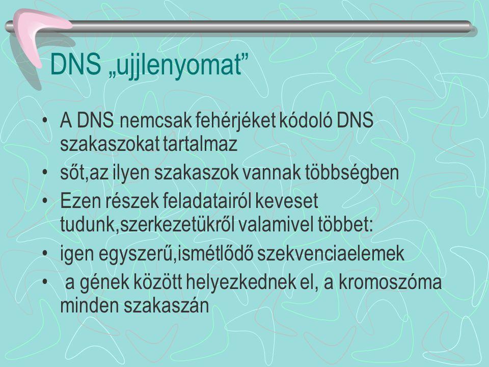 """DNS """"ujjlenyomat"""" A DNS nemcsak fehérjéket kódoló DNS szakaszokat tartalmaz sőt,az ilyen szakaszok vannak többségben Ezen részek feladatairól keveset"""