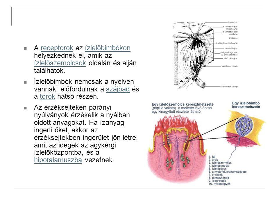 A receptorok az ízlelőbimbókon helyezkednek el, amik az ízlelőszemölcsök oldalán és alján találhatók.receptorokízlelőbimbókon ízlelőszemölcsök Ízlelőb