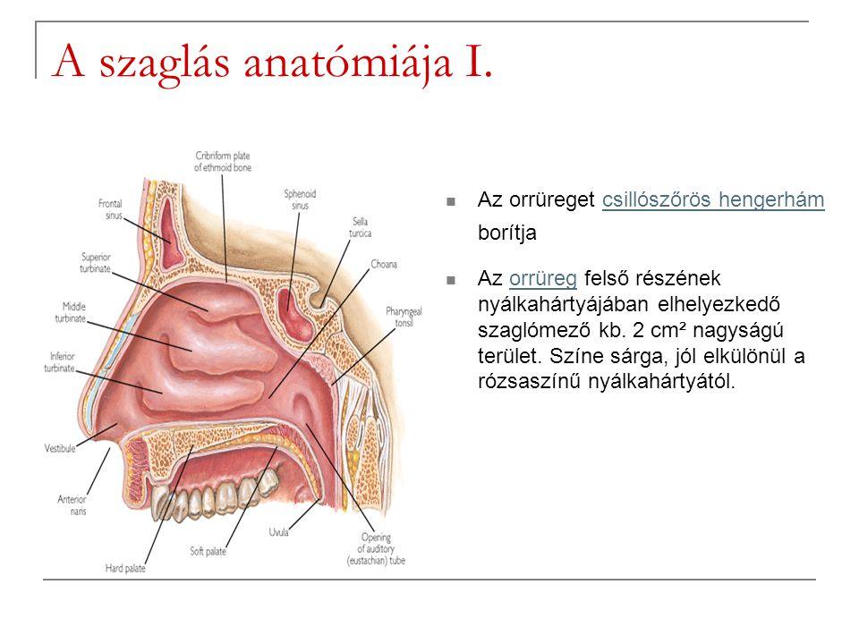 A szaglás anatómiája I. Az orrüreget csillószőrös hengerhám borítjacsillószőrös hengerhám Az orrüreg felső részének nyálkahártyájában elhelyezkedő sza