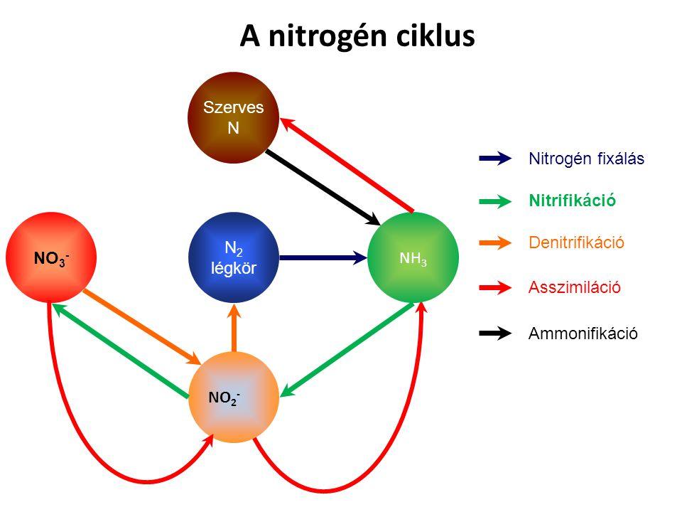 A nitrogén ciklus N 2 légkör NH 3 Nitrogén fixálás NO 2 - NO 3 - Nitrifikáció Denitrifikáció Szerves N Asszimiláció Ammonifikáció