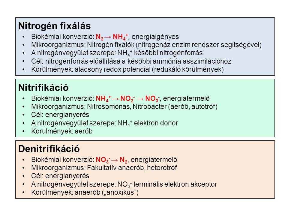 """Nitrogén fixálás Biokémiai konverzió: N 2 → NH 4 +, energiaigényes Mikroorganizmus: Nitrogén fixálók (nitrogenáz enzim rendszer segítségével) A nitrogénvegyület szerepe: NH 4 + későbbi nitrogénforrás Cél: nitrogénforrás előállítása a későbbi ammónia asszimilációhoz Körülmények: alacsony redox potenciál (redukáló körülmények) Nitrifikáció Biokémiai konverzió: NH 4 + → NO 2 - → NO 3 -, energiatermelő Mikroorganizmus: Nitrosomonas, Nitrobacter (aerób, autotróf) Cél: energianyerés A nitrogénvegyület szerepe: NH 4 + elektron donor Körülmények: aerób Denitrifikáció Biokémiai konverzió: NO 3 - → N 2, energiatermelő Mikroorganizmus: Fakultatív anaerób, heterotróf Cél: energianyerés A nitrogénvegyület szerepe: NO 3 - terminális elektron akceptor Körülmények: anaerób (""""anoxikus )"""