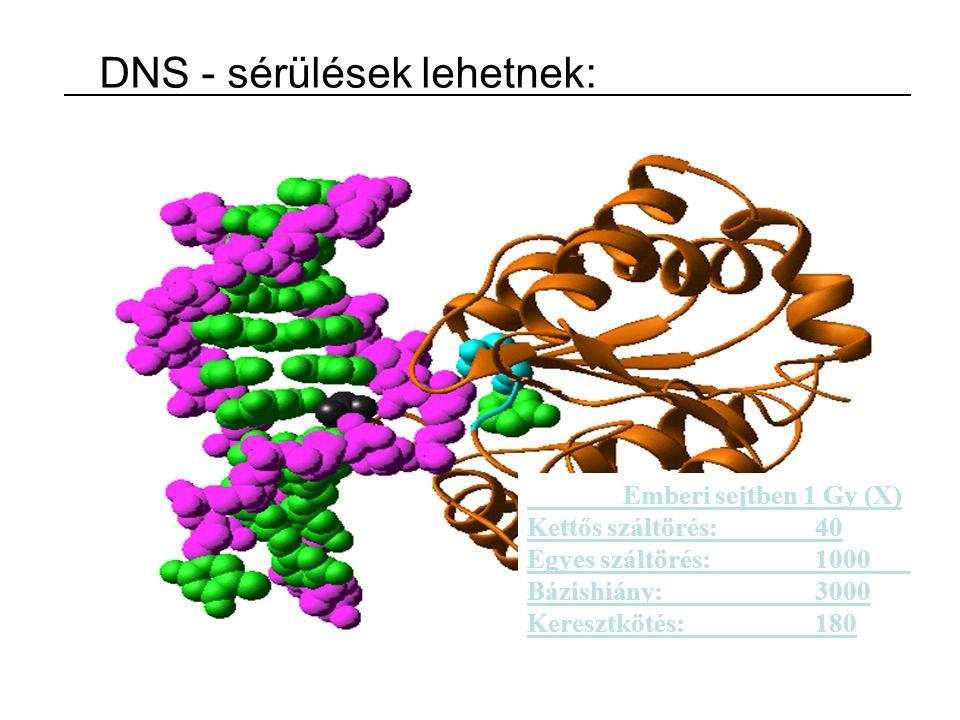 Emberi sejtben 1 Gy (X) Kettős száltörés:40 Egyes száltörés:1000 Bázishiány:3000 Keresztkötés:180 DNS - sérülések lehetnek: