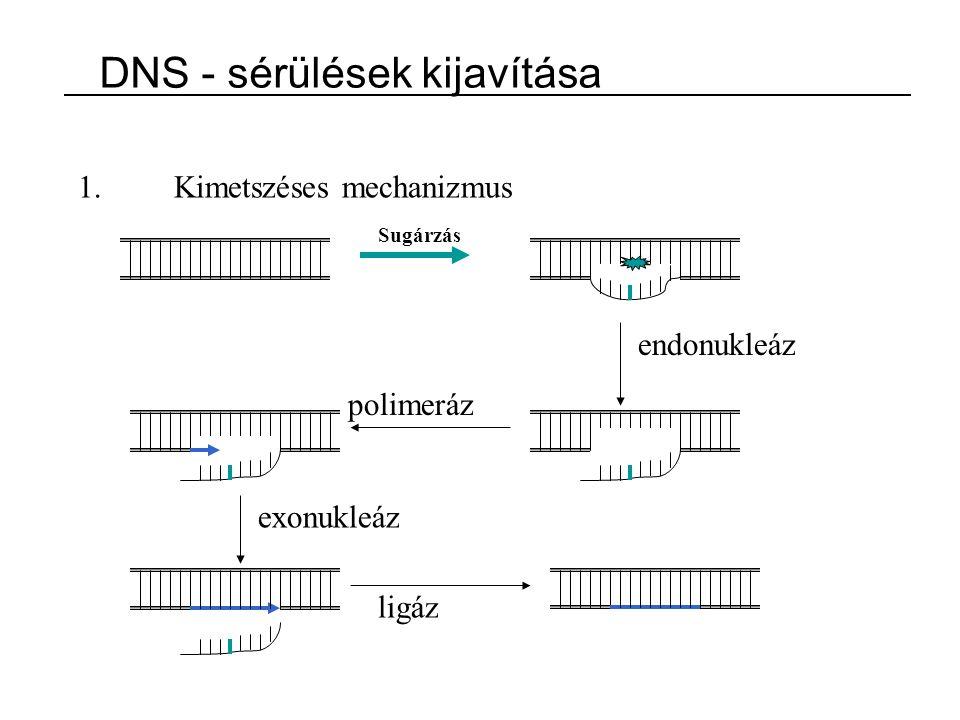 1.Kimetszéses mechanizmus Sugárzás endonukleáz polimeráz exonukleáz ligáz DNS - sérülések kijavítása
