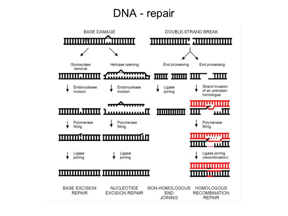 DNA - repair