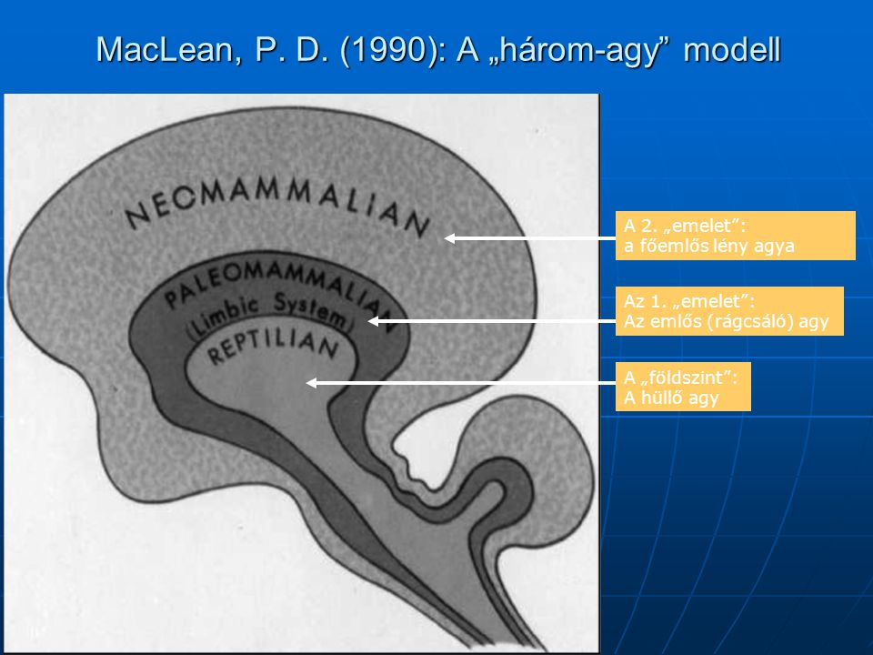 A modern ember születésének forradalma Az egyenletesen növekvő agyméret 200 ezer évvel ezelőtt eléri maximális (1400 cm²) méretét és stabilizálódik Létrejönnek az EP mentális moduljai Felértékelődik a csoport (a növekvő fejméret miatt életképtelenül születünk, energia-igényes, és fontos a tapasztalat elsajátítása) Kezd kiformálódni az etnocentizmus, Fejlődik az eszköz-használat és készítés, Az agyméret stabilizálódása miatt a kultúra kifejlesztése irányában fejlődünk tovább