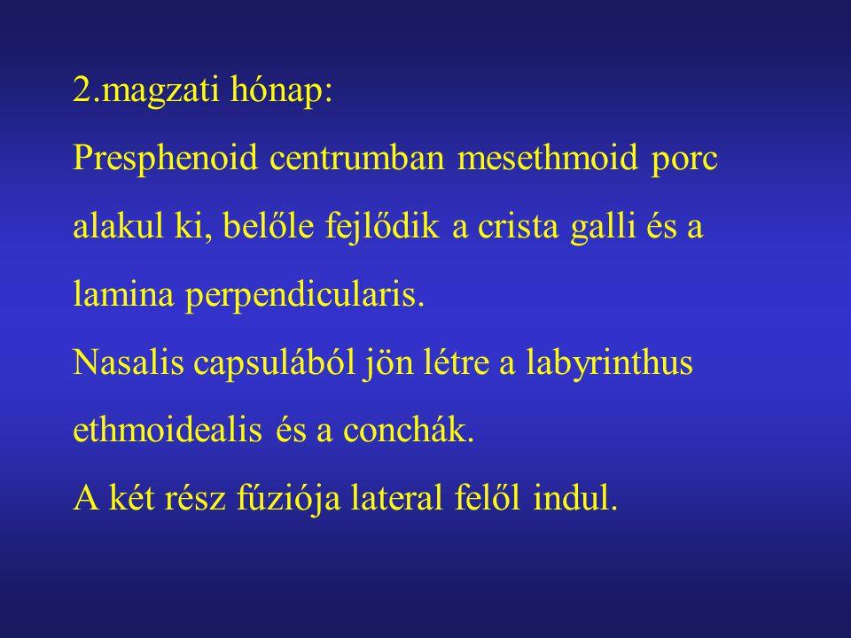 2.magzati hónap: Presphenoid centrumban mesethmoid porc alakul ki, belőle fejlődik a crista galli és a lamina perpendicularis. Nasalis capsulából jön