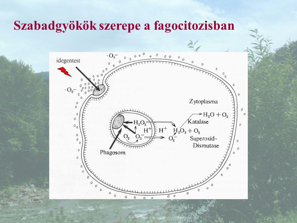 Szabadgyökök szerepe a fagocitozisban