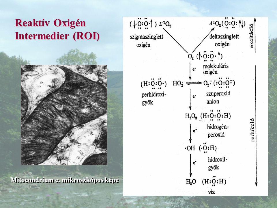 Reaktív Oxigén Intermedier (ROI) Mitocondrium e. mikroszkópos képe