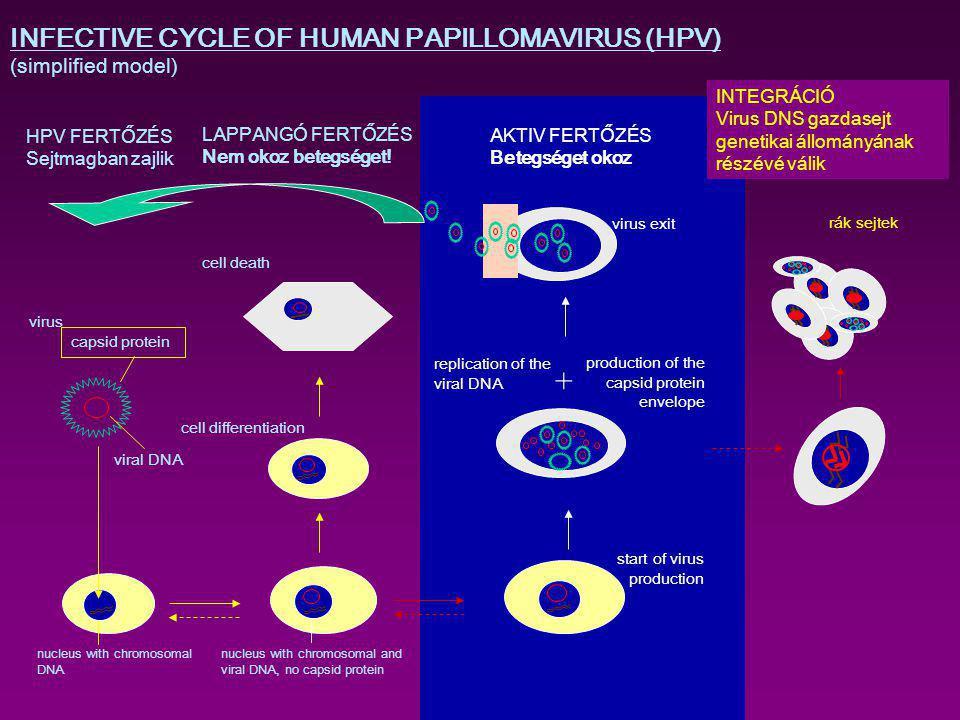 AKTIV FERTŐZÉS Betegséget okoz HPV FERTŐZÉS Sejtmagban zajlik start of virus production production of the capsid protein envelope INFECTIVE CYCLE OF H