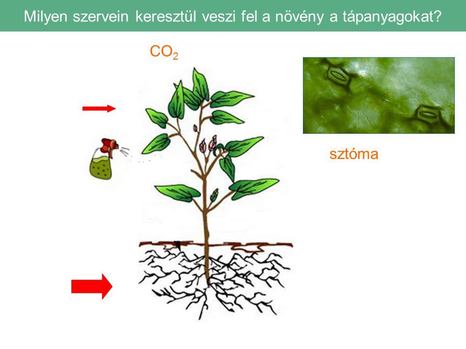 Milyen szervein keresztül veszi fel a növény a tápanyagokat? CO 2 sztóma