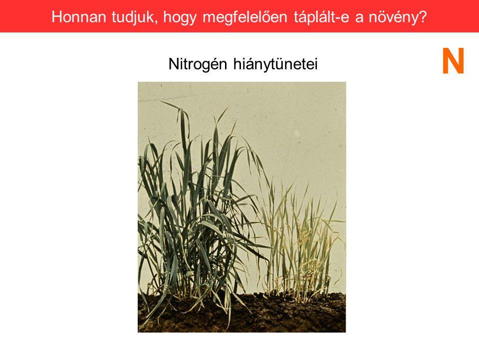Nitrogén hiánytünetei N Honnan tudjuk, hogy megfelelően táplált-e a növény?