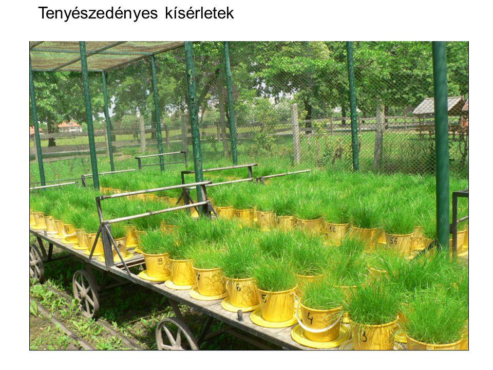 NPK kezeléskombinációk a kukorica szárazanyagtartalmára NPK kezeléskombinációk a kukorica fajlagos vízfogyasztására Tenyészedényes kísérletek