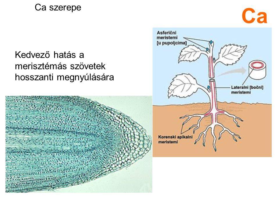Kedvező hatás a merisztémás szövetek hosszanti megnyúlására Ca Ca szerepe