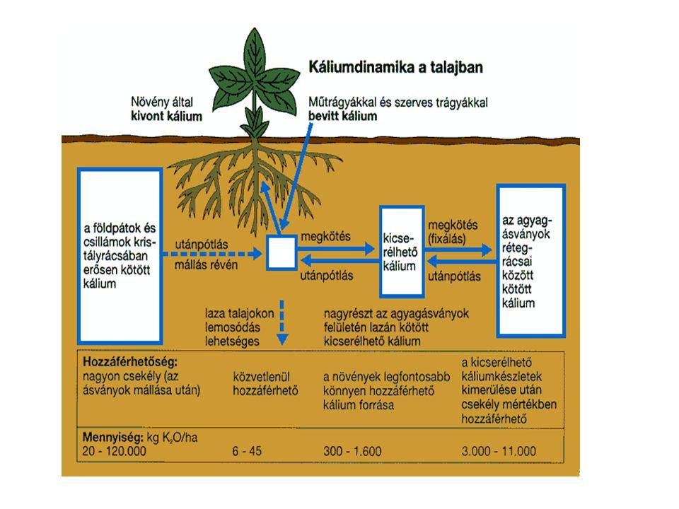 Sejt vízfelvételét szabályozza Enzimek kofaktora foszforillálási reakciókban (légzés, fotoszintézis gátolt Mg hiányában) Ca Mg szerepe Klorofill alkotórésze