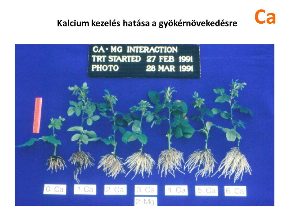 Kalcium kezelés hatása a gyökérnövekedésre Ca