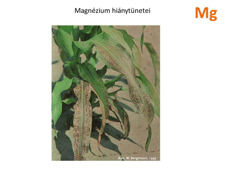 Magnézium hiánytünetei Mg