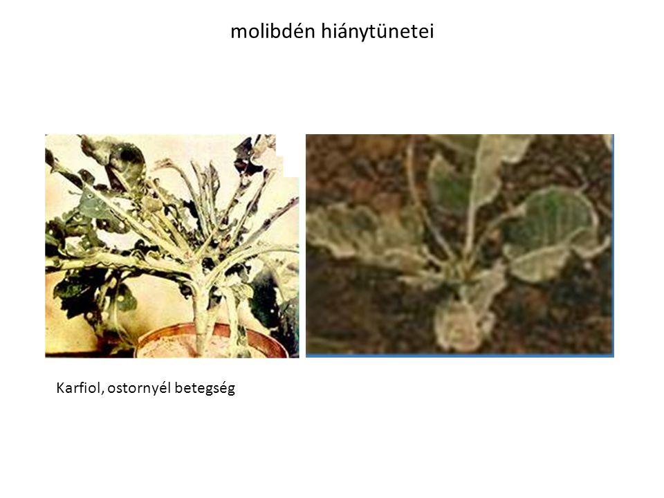 molibdén hiánytünetei Karfiol, ostornyél betegség