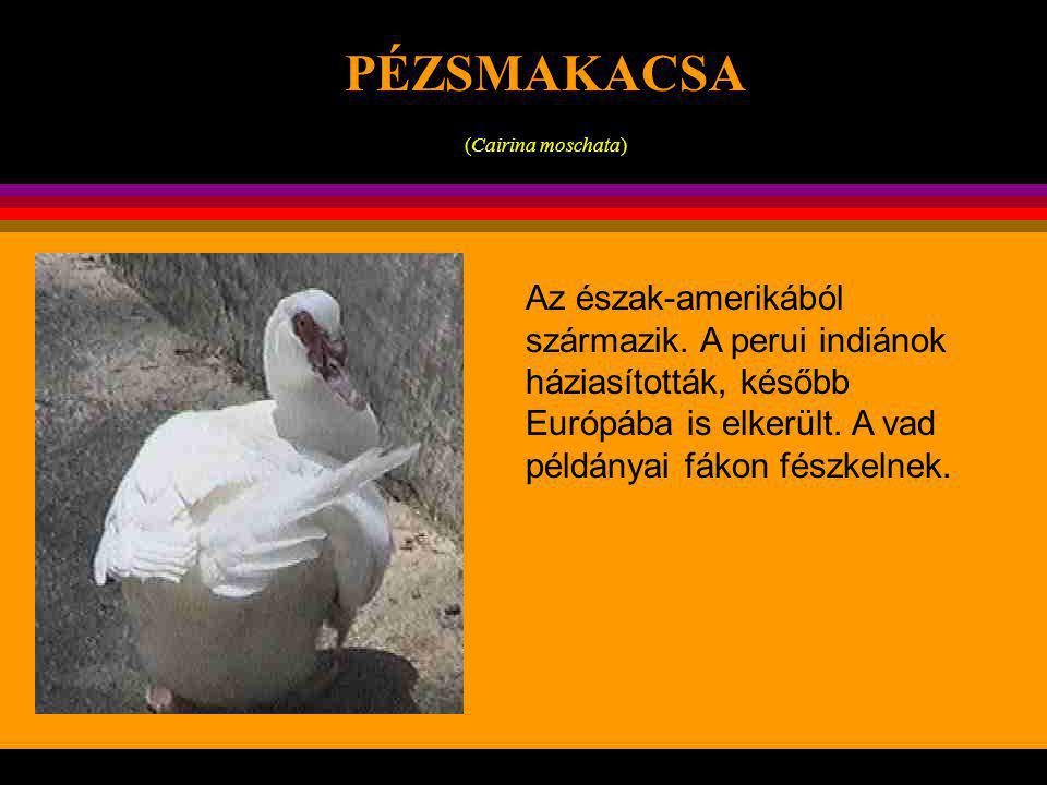 . KONTINENSEK LAMA lama glama Az újvilági tevefélék képviselõje. Háziasított példányai Peru, Bolívia, Chíle 4-5000 m magas hegyvidékein hasznos segítõ
