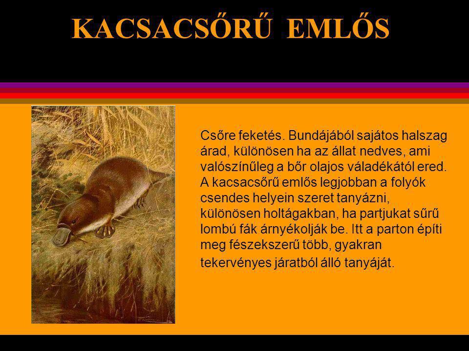 . KACSACSŐRŰ EMLŐS Ez az érdekes állat különösen Délkelet- Ausztráliában és Tasmániában található. Kb. 60 cm hosszú, amiből lapos farkára 14 cm jut. E