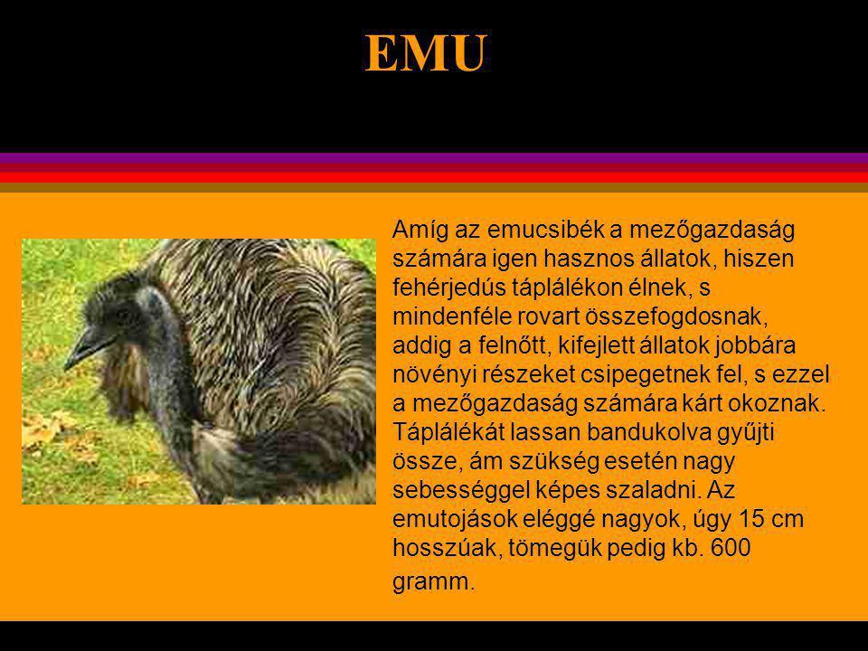. EMU A strucc után Földünk második legnagyobb madara. Magassága 1,5-1,8 m, testtömege 50-60 kg. A tojók valamivel nagyobbak a hímeknél. Ennek a viszo