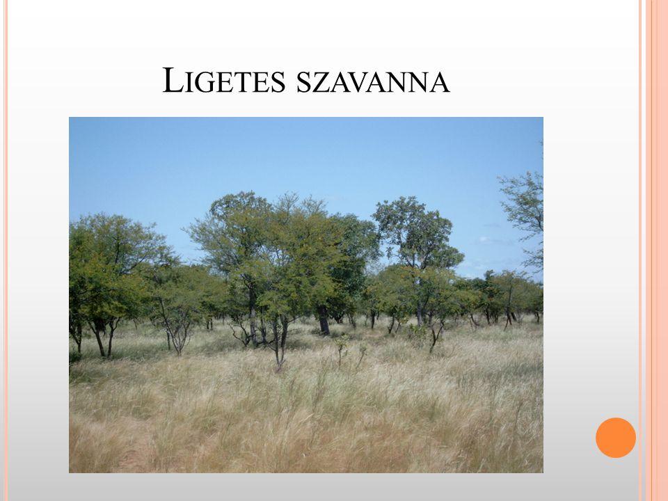 """E GYENLÍTŐTŐL TÁVOLODVA szavanna (""""minden, ami nem erdő ) - előfordulása: - Afrika - Dél-Amerika - India - Ausztrália"""
