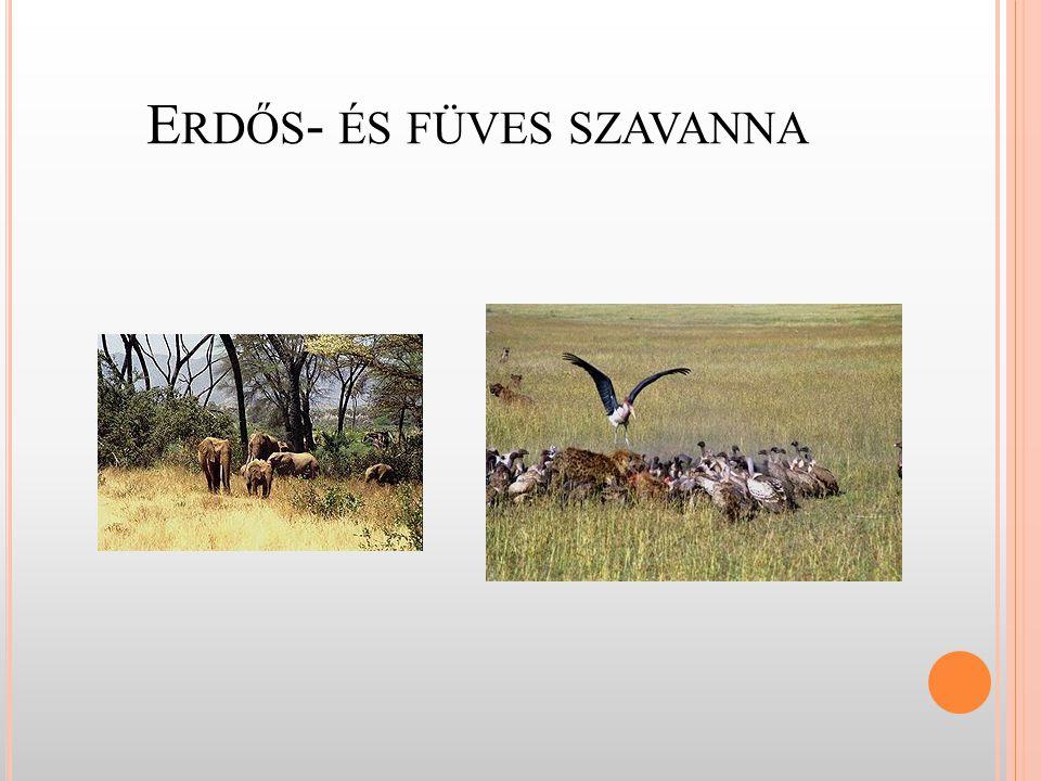 S ZAVANNA TÍPUSAI - erdős szavanna - összefüggő erdőség - nincsenek óriásfák (max.