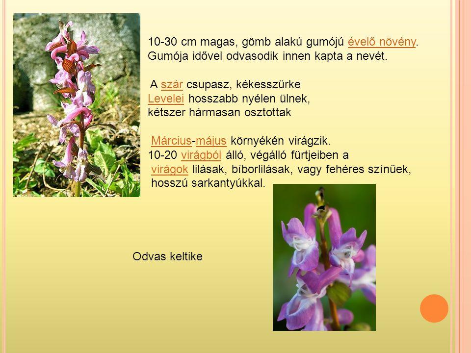 Odvas keltike 10-30 cm magas, gömb alakú gumójú évelő növény.évelő növény Gumója idővel odvasodik innen kapta a nevét. A szár csupasz, kékesszürkeszár