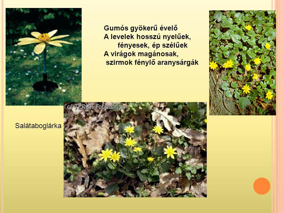 Salátaboglárka Gumós gyökerű évelő A levelek hosszú nyelűek, fényesek, ép szélűek A virágok magánosak, szirmok fénylő aranysárgák