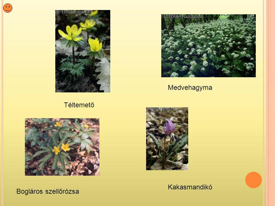 Bogláros szellőrózsa Medvehagyma Kakasmandikó Téltemető