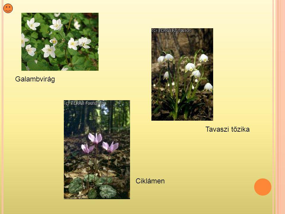 Galambvirág Ciklámen Tavaszi tőzika