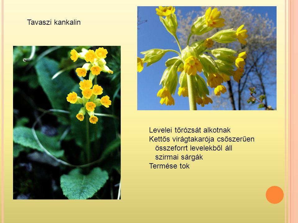 Tavaszi kankalin Levelei tőrózsát alkotnak Kettős virágtakarója csőszerűen összeforrt levelekből áll szirmai sárgák Termése tok