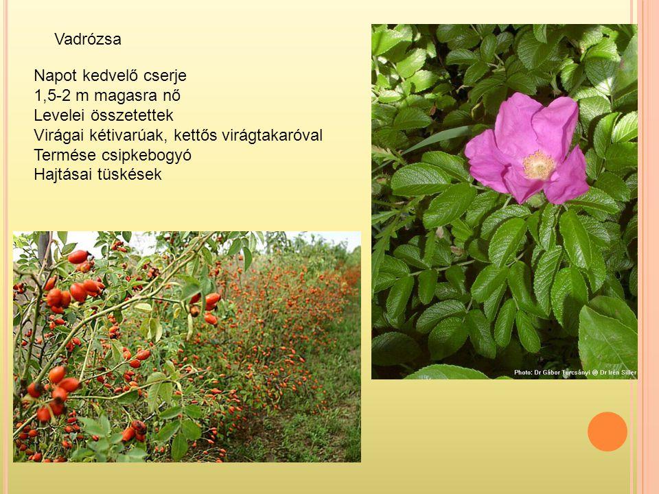 Vadrózsa Napot kedvelő cserje 1,5-2 m magasra nő Levelei összetettek Virágai kétivarúak, kettős virágtakaróval Termése csipkebogyó Hajtásai tüskések
