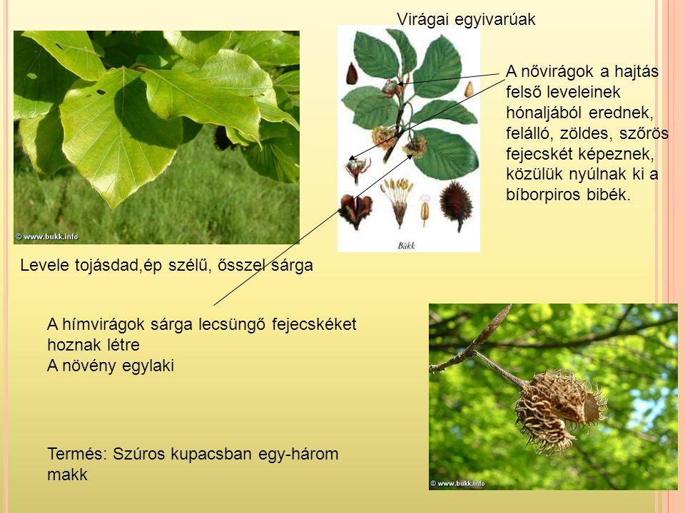 Levele tojásdad,ép szélű, ősszel sárga Termés: Szúros kupacsban egy-három makk A hímvirágok sárga lecsüngő fejecskéket hoznak létre A növény egylaki A