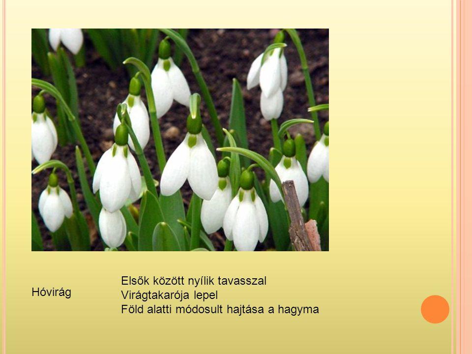 Hóvirág Elsők között nyílik tavasszal Virágtakarója lepel Föld alatti módosult hajtása a hagyma